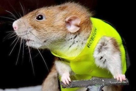 Крысы как и мужики предпочитают самок в сексуальном белье