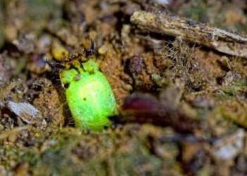 Таинственный хищный светлячок найден в Перуанском лесу