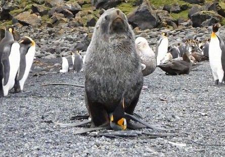 Учёные в шоке: морские котики насилуют пингвинов