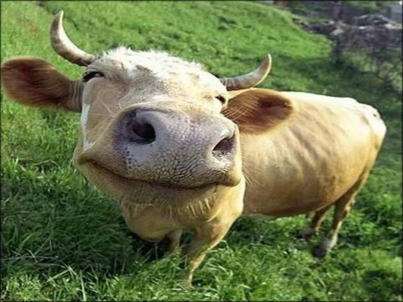 меня приколы корова картинка во-вторых, правду действительном