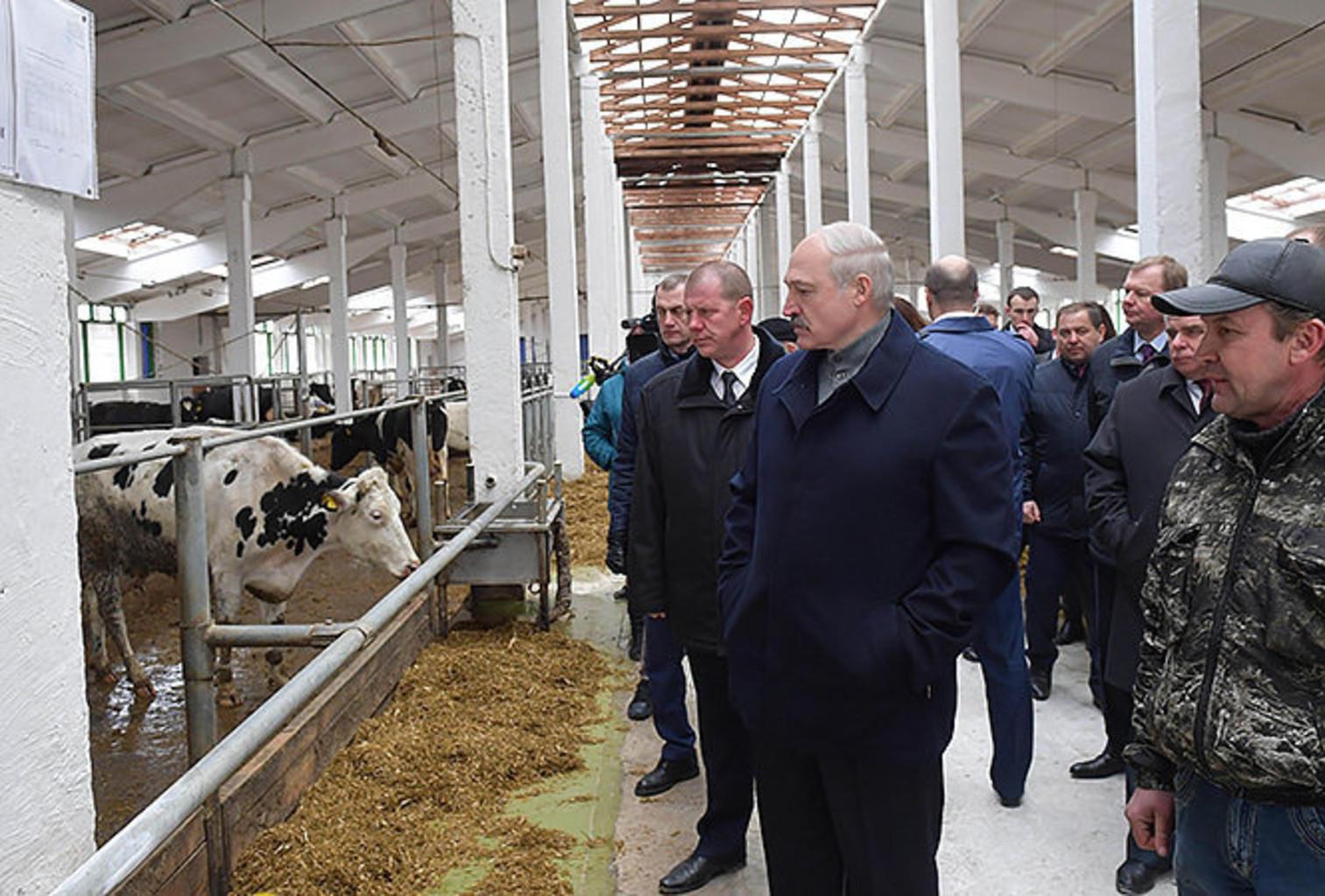 Lukashenko korovy kupalovskoe llb2k