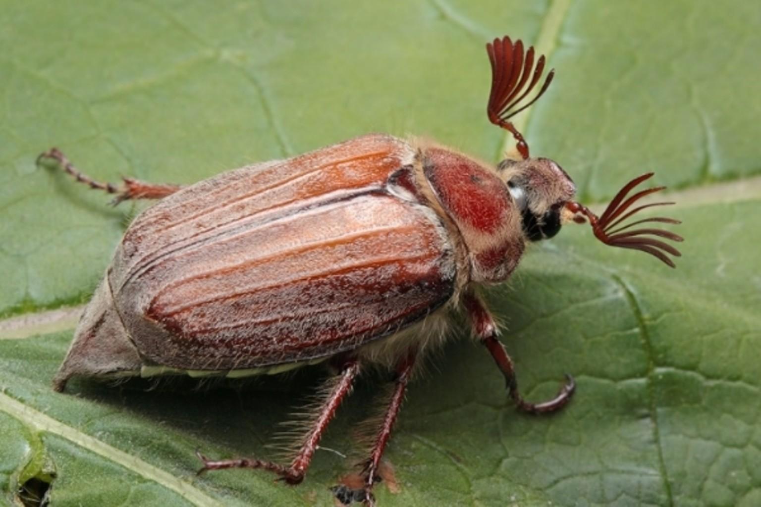 майский жук фото и описание его словам, натовские