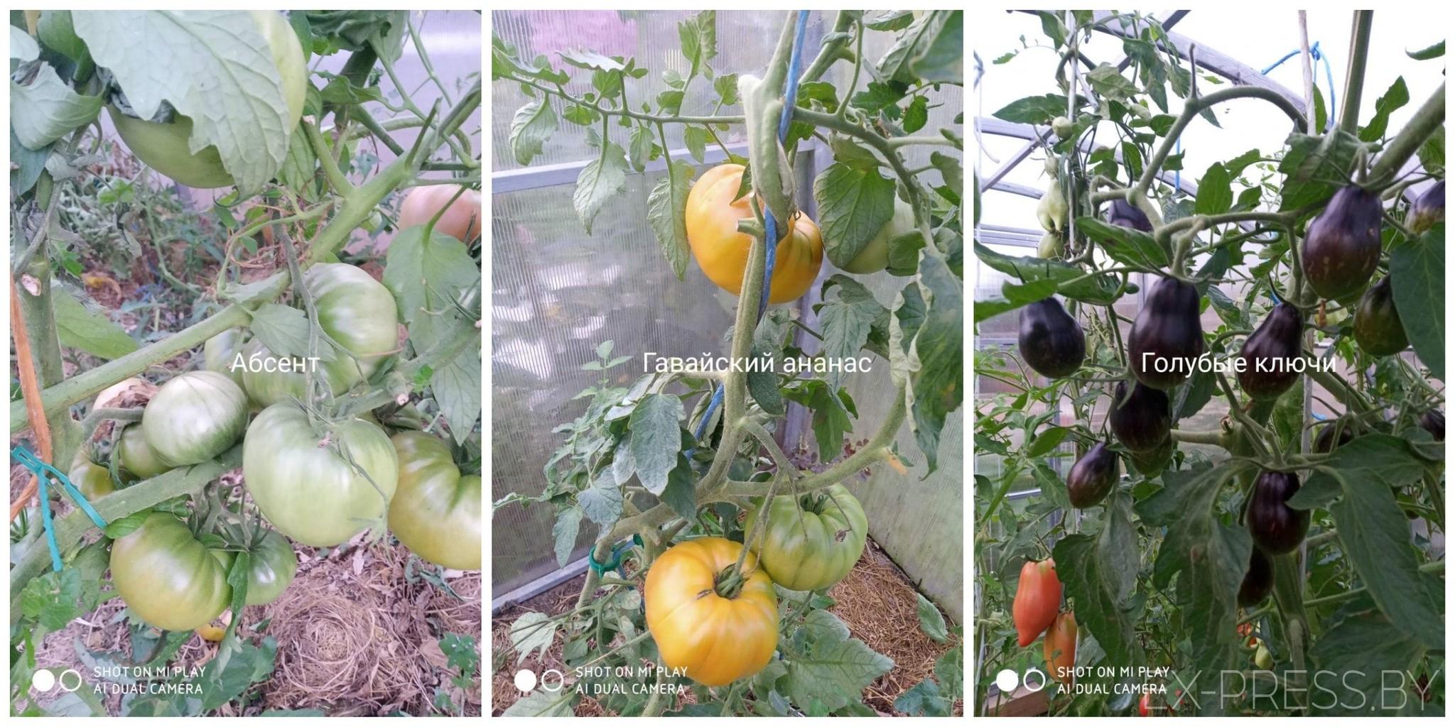 Tomatk1