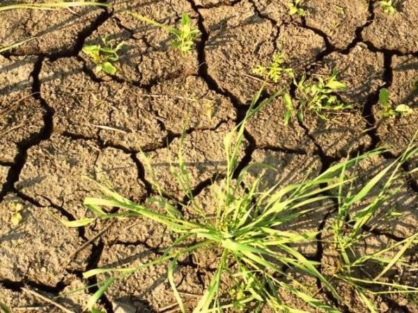Засуха сгубила урожай